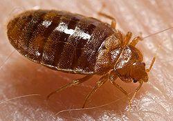 homemade-bedbug-traps