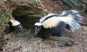 skunk-trap-bait