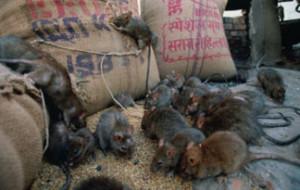 rat-infestation