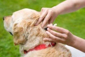 flea-repellent-dogs