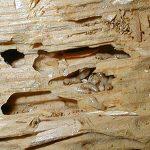 subterranean-termite-damage